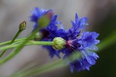 голубой цветок мозоли Стоковая Фотография