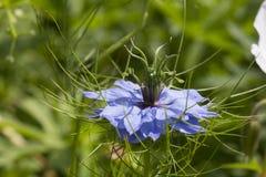 голубой цветок мозоли Стоковое Изображение RF