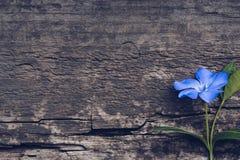 Голубой цветок на деревянной предпосылке Голубой барвинок цветка Стоковое Изображение RF
