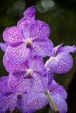 Голубой цветок орхидеи vanda Стоковое Фото
