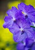 Голубой цветок орхидеи vanda Стоковая Фотография