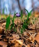 голубой цветок одичалый Стоковые Фото