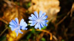 голубой цветок одичалый Стоковые Изображения RF