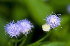 голубой цветок одичалый Стоковое фото RF