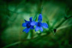 голубой цветок одичалый Стоковые Фотографии RF