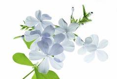 Голубой цветок подсвеченный Стоковые Фото