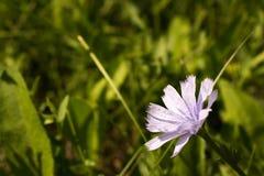 голубой цветок поля Стоковое Изображение