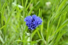 Голубой цветок пшеницы в зеленой траве Стоковые Изображения RF