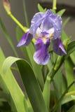 Голубой цветок 2 радужки Стоковые Изображения RF