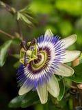Голубой цветок страсти, общий цветок страсти Стоковое Фото