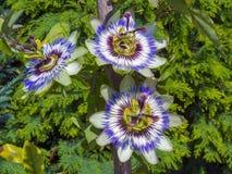 Голубой цветок страсти (caerulea пассифлоры) Стоковое Изображение