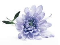 Голубой цветок хризантемы Стоковая Фотография RF