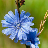 голубой цветок цикория Стоковые Изображения RF