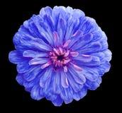 Голубой цветок, чернит изолированную предпосылку с путем клиппирования, крупным планом никакие тени; Стоковые Изображения