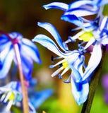 голубой цветок Стоковое фото RF