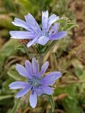 голубой цветок Стоковое Изображение RF