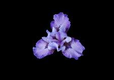 голубой цветок стоковые фотографии rf