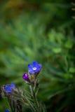 Голубой цветок Bokeh Стоковое Изображение