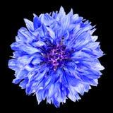 Голубой цветок Cornflower изолированный на черной предпосылке Стоковое Изображение RF