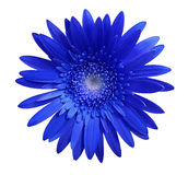 Голубой цветок gerbera на белизне изолировал предпосылку с путем клиппирования closeup Отсутствие теней Для конструкции стоковое фото
