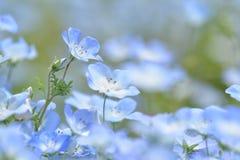 Голубой цветок, Nemophila, Япония Стоковые Фото