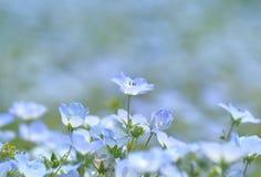 Голубой цветок, Nemophila, Япония Стоковое Изображение RF