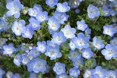 Голубой цветок, Nemophila, Япония Стоковая Фотография RF