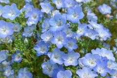 Голубой цветок, Nemophila, Япония Стоковая Фотография