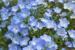 Голубой цветок, Nemophila, Япония Стоковые Изображения RF