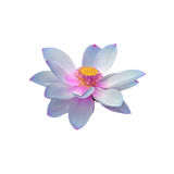 Голубой цветок nuphar, зеленое поле на озере, вод-лилии, пруд-лилии, spatterdock, nucifera Nelumbo, также известном как индийский Стоковые Изображения RF