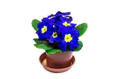 Голубой цветок primula в цветочном горшке Стоковое Изображение RF