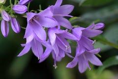 Голубой цветок rapunculoides колокольчика Стоковое Изображение RF