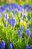 Голубой цветок Salvia Стоковые Фотографии RF