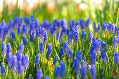Голубой цветок Salvia Стоковые Изображения
