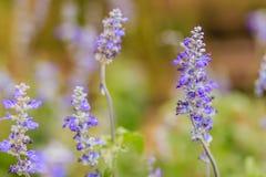 Голубой цветок salvia (farinacea Benth salvia) или мучнистый шалфей fl крышки Стоковое Изображение RF