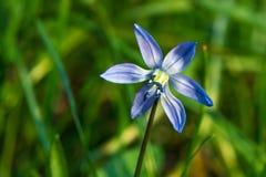 Голубой цветок scilla в траве Стоковые Изображения RF