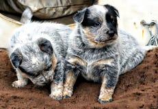 Голубой щенок Heeler Стоковое Изображение RF