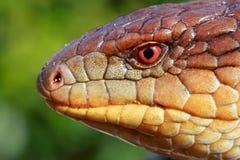голубой язык ящерицы Стоковое фото RF