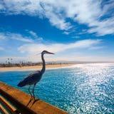 Голубой Ardea цапли cinerea в пристани Калифорнии Ньюпорта Стоковое Изображение RF