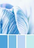Голубой blossoming крокуса Стоковая Фотография RF