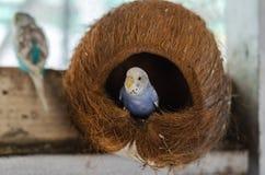 голубой budgerigar Стоковые Фотографии RF