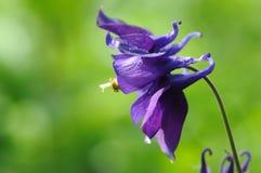 Голубой columbine зацветать цветка внешний Стоковые Фото