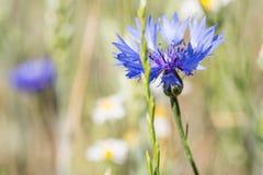 Голубой cornflower в поле лета Стоковые Изображения