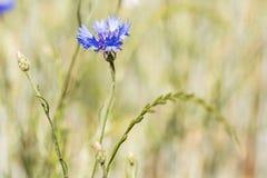 Голубой cornflower в поле лета Стоковое Изображение RF