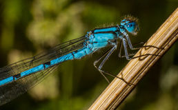 Голубой damselfly Стоковое Изображение RF