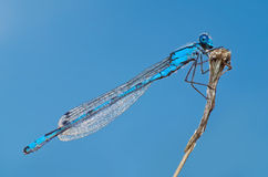Голубой dragonfly на взгляде со стороны хворостины Стоковое Изображение