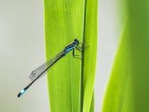 Голубой dragonfly сидит на траве Стоковые Изображения RF