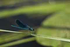 Голубой dragonfly сидя на травинке Стоковые Фотографии RF
