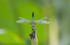 Голубой dragonfly стоя сухая ветвь дерева Стоковая Фотография RF