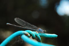 голубой dragonfly стоковое фото rf